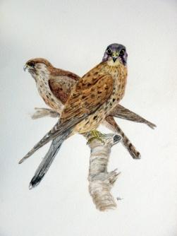 Two kestrels painting