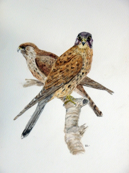 Two kestrels painting