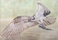 Osprey fish